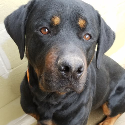 Baron – 5 Year Old – Male