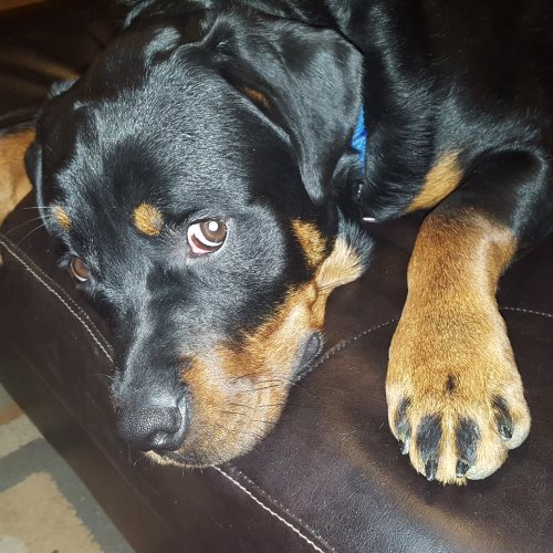 Capone – 3 Year Old – Male