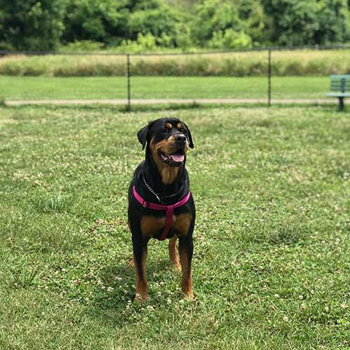 Roxi – 3 Year Old – Female